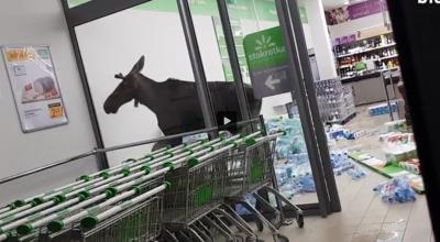 łoś wszedł do sklepu