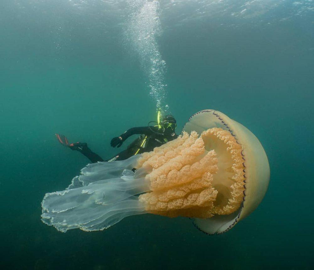 monstrualna meduza