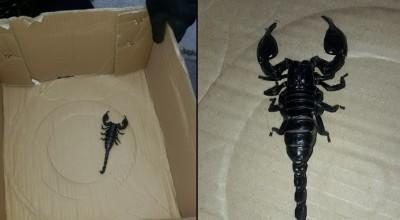 ogromny skorpion