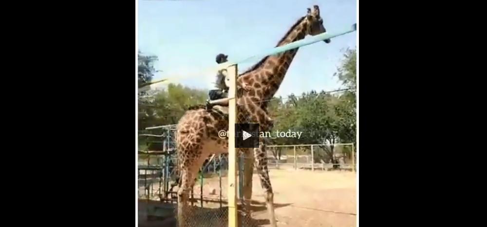 pijany wszedł na żyrafę