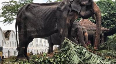 słoń w fatalnym stanie