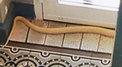 jadowita kobra