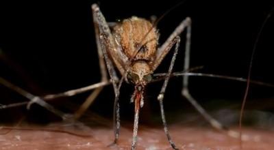 komary tygrysie