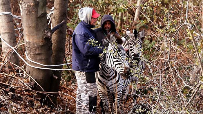 zastrzelono zebrę