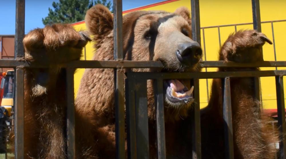 niedźwiedziowi w cyrku