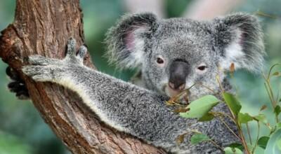 setki misiów koala spłonęło w ogromnym pożarze