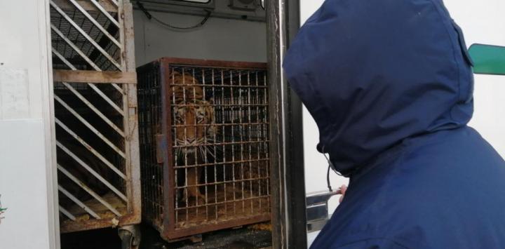 transport tygrysów