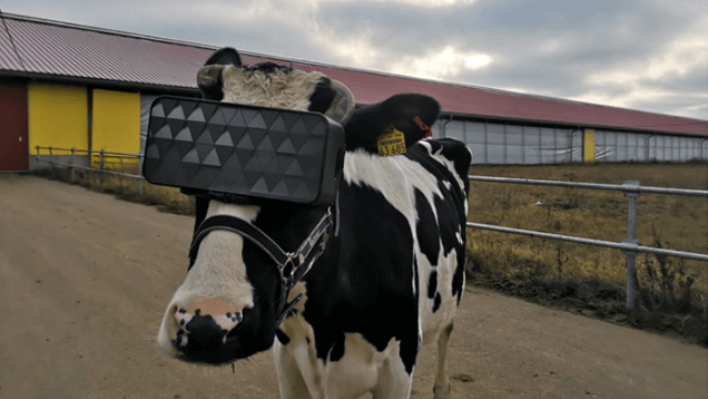 Krowy dostały okulary VR