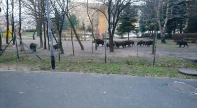 dziki weszły na teren