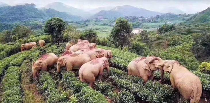 słonie upiły się winem