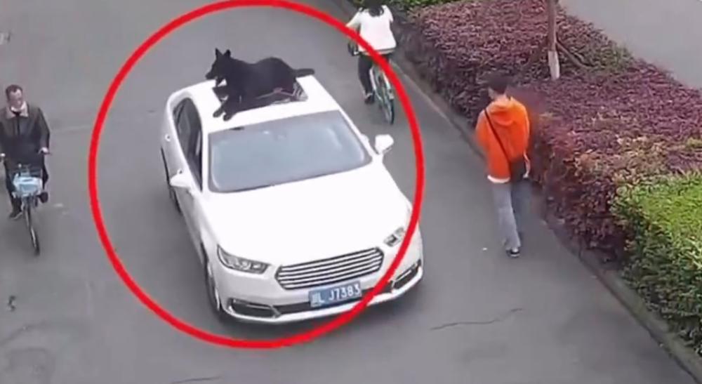 wiózł psa na dachu