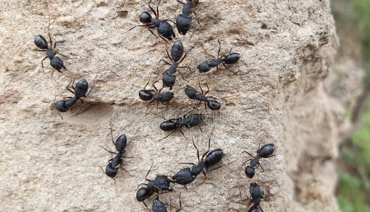 makabra mrówki jadły