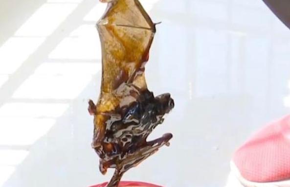 martwy nietoperz na dnie słoika