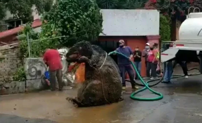 potężny szczur