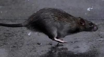martwe szczury w chinach
