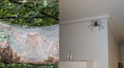 gigantyczny pająk
