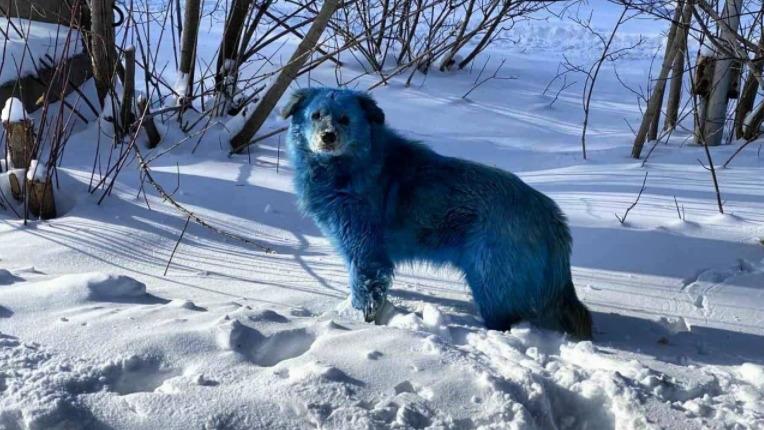 Niebieskie psy