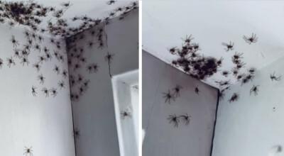 hordy pająków zalały australię