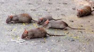 zatrważające fakty odnośnie szczurów