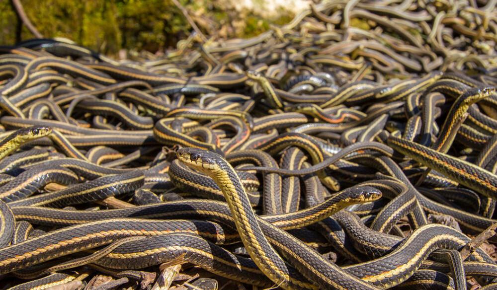 inwazja węży w australii