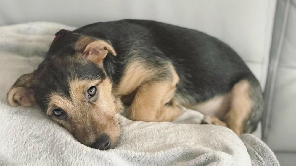 nowy koronawirus przenoszony przez psy