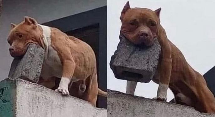 pies rzucał cegłami