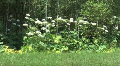 groźna roślina zaczyna rozkwitać