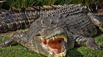 Krokodyl uciekł