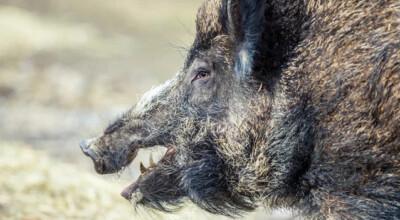 napromieniowane świnie
