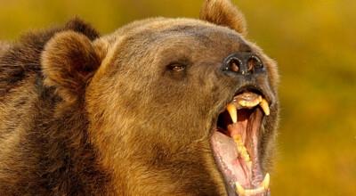 Niedźwiedź grasuje w Zakopanem